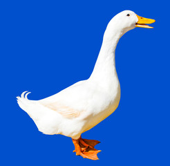 Duck isolated on blue background with clipping path