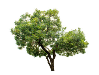The tree is completely separated from the white ba background Scientific name Tabebuia aurea