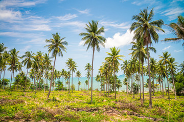 Seaside coconut palm trees farm in sunny day with blue sky - Tropical summer breeze holiday