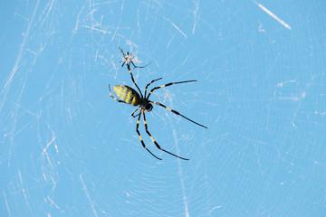 女郎蜘蛛ジョロウグモの夫婦・カップルの写真イメージ素材