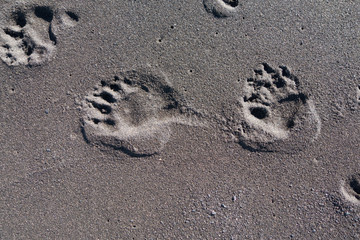 Bear paw prints in the sand, Lost Coast, California