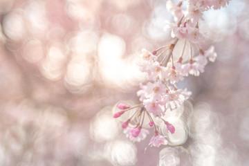 Beautiful cherry blossom or sakura in spring time over sky. Kawakuchiko, Japan.
