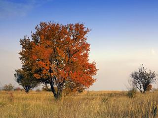 Red autumn maple tree