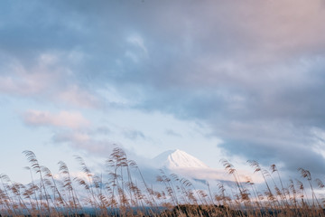 the flower and grass with fuji mountain at Oishi Park, Kawaguchiko, yamanachi, japan