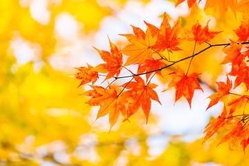 紅葉 Japanese autumn leaves