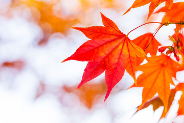 紅葉 Japanese autumn leaves