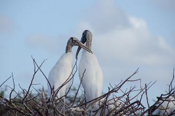 Wood stork pair in nest