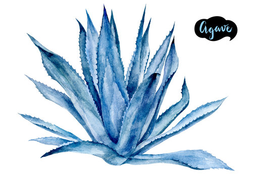 Agave watercolor hand drawn illustration isolated on white