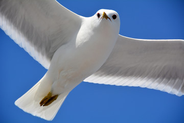 Flying seagull up close