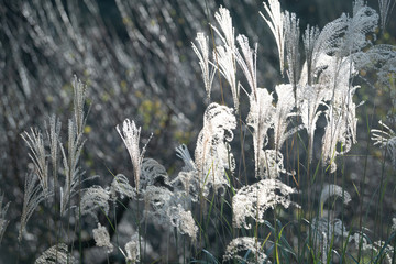 Miscanthus sinensis in the sunset
