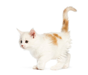 Maine coon kitten, 8 weeks old, in front of white background