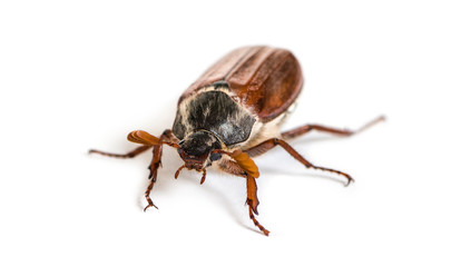 Chafer. Summer chafer or European june beetle, Amphimallon solstitiale, in front of white background