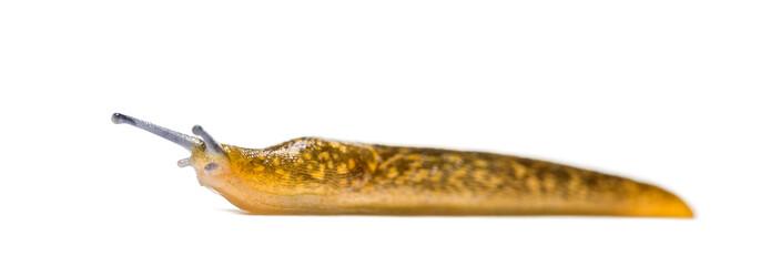 Cellar slug, the yellow slug, or the tawny garden slug, Limax fl