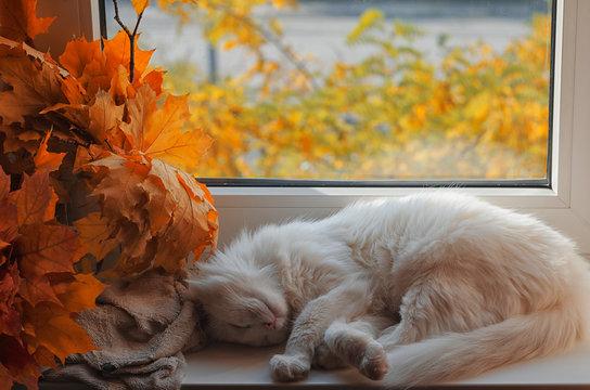 Sleeping white cat on the window sill.
