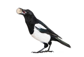 Common Magpie, Pica pica, holding shiny Euro in beak, in front o
