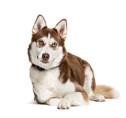 Husky, 2 years old, in front of white background
