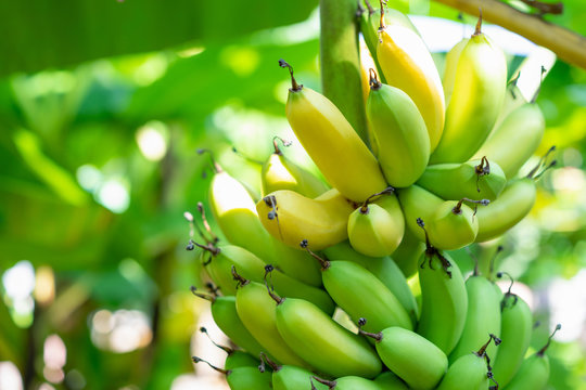 Bunch of bananas ripe with both yellow and green on the banana tree in the garden background.