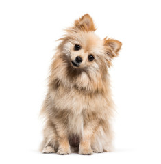 Spitz, 1 year old, in front of white background