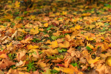 Colorful fall leaves of maple on the ground.  Close-up of yellow foliage in warm sunlight. Autumn forest on a sunny day. Tilt-shift effect. Soft focus photography.