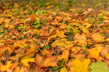 Colorful fall leaves on the grass. Bright autumn background.