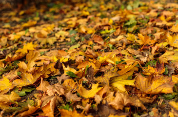 Yellow leaves fallen on the grass. Close-up of colorful foliage in warm sunlight. Autumn forest on a sunny day. Soft focus photography.