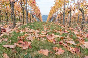 Abgefallene Blätter im Weinberg