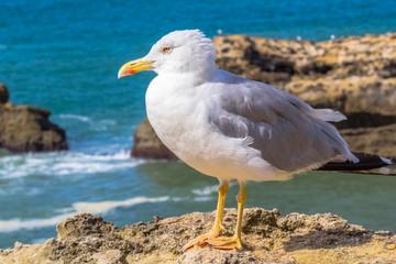 mouette sur falaise à Biarritz