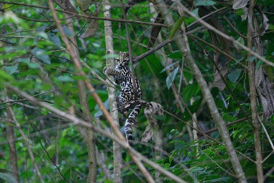 Wild Margay cat (Leopardus wiedii) in its natural habitat in french Guiana