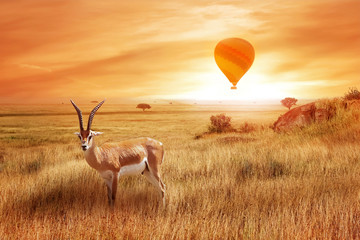 Lonely antelope (Eudorcas thomsonii) in the African savanna against a beautiful sunset with balloon. African landscape. Wild life of Africa. Wall mural