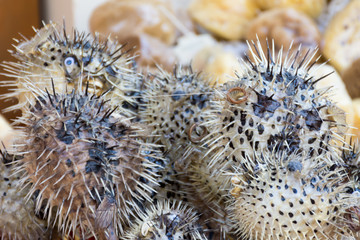 sea urchins in the gift shop