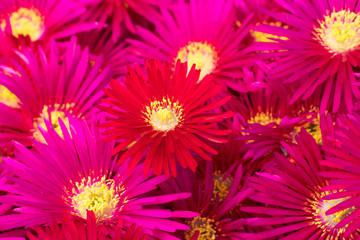 Flowers of Lampranthus dew plant