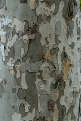 Closeup of tree bark - natural camouflage coloring khaki.   ideas from nature to create a military camouflage