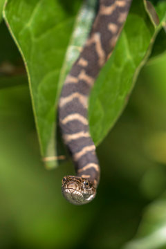 Baby Northern Water Snake hanging from a buttonbush branch