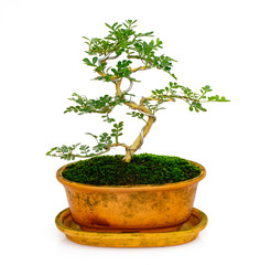 Image of mini bonsai in the pot tree on a white background. They were arranged from seedling of Carmona retusa and Feroniella lucida.