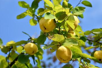 マルメロの木