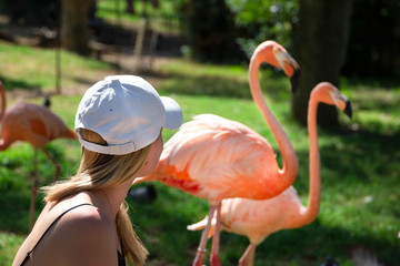 beautiful blonde girl feeding group of flamingos by the hands on the pond