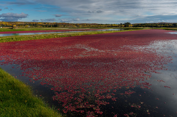 Cranberry Mach In Fall Red Berries Floating in Water