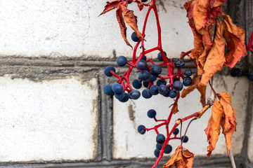 Bunches of grapes with yellow leaves on a brick wall background