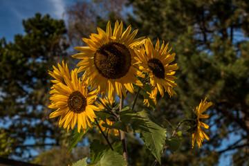 Sonnenblume im Park