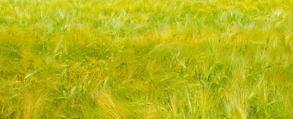 Green grass background texture. Wide photo.