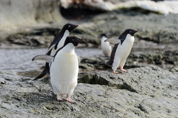 Group of adelie penguins on beach in Antarctica