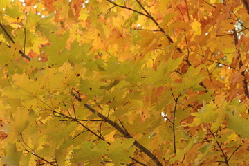 Vibrant Yellow and Green Autumn Sugar Maple Leaves With Brown Diagonal Branches