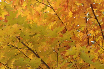 Vibrant Yellow and Green Autumn Sugar Maple Leaves With Brown Branches Background Texture