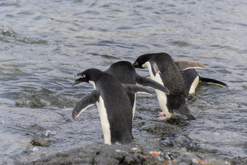 Adelie penguins going to water in Antarctica