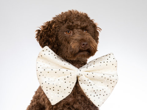 Australian labradoodle dog portrait. Image taken in a studio with white background. Dog is wearing a big white bow.