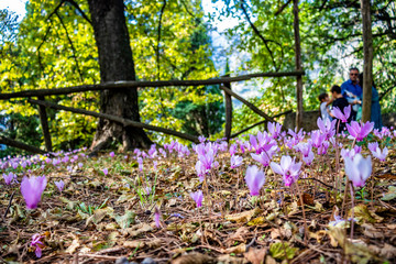 walk in the woods. Wild cyclamen, pine cones and chestnuts, among the dry leaves, in autumn.