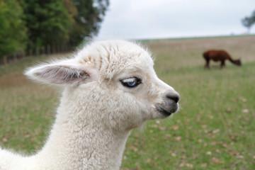 Portrait Alpaka Fohlen blaue Augen - Vicugna pacos - auf Weide