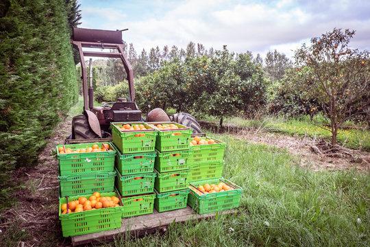 Orange orchard in Kerikeri, Northland, New Zealand NZ - harvest of citrus fruit in plastic crates on pallet of vintage tractor