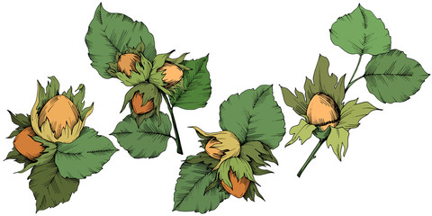 Vector autumn plant hazel nut. Leaf plant botanical garden floral foliage. Isolated illustration element. Vector leaf for background, texture, wrapper pattern, frame or border.