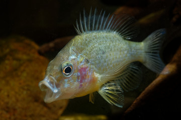 The pumpkinseed  Common Sunfish (Lepomis gibbosus) North American freshwater fish of the sunfish family (Centrarchidae).